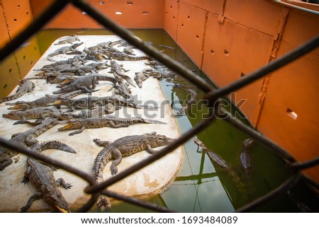 Crocodile pond with many large crocodiles. Business of raising crocodiles to produce leather, blood and crocodile bones. The condition of the crocodile farm in Thailand.