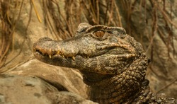 crocodile portrait with head elevated in zoo