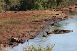 Crocodile reptile is watching and looking at wild endangered monkey apes drinking water at african lake, during dangerous scene, on safari game in sanctuary reserve Kruger National Park, South Africa.