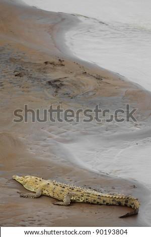 Crocodile resting at the riverbank in Costa Rica
