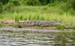 Crocodile resting on the bank of the River Nile, Murchison Falls National Park, Uganda