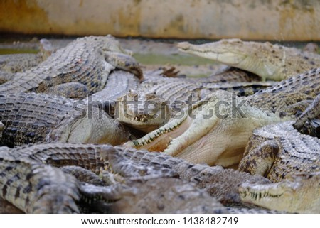 crocodile's lunch time in Medan, Indonesia #1438482749