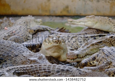 crocodile's lunch time in Medan, Indonesia #1438482752