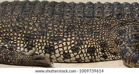 Crocodile saltwater skin. hi-res