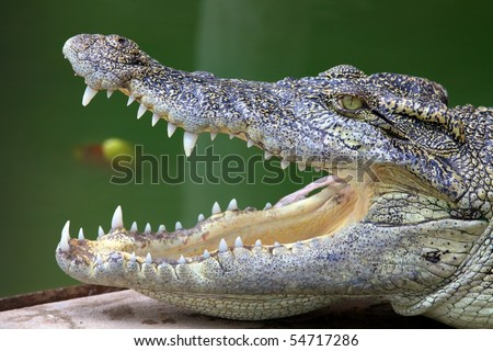 Crocodile Side View