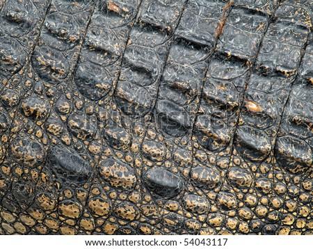 Crocodile skin closeup, useful for background or texture