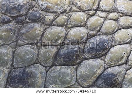 Crocodile+skin+texture.
