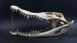 Crocodile skull in dark background.