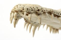 crocodile skull-teeth close up