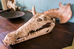 Crocodile skull used as decoration in an African villa in Eastern Africa