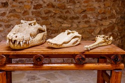 Crocodile skulls lie on a wooden table. Reptile as a training tool.