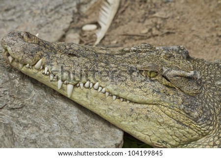 Crocodile Sleeping in farm Thailand