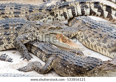 crocodile sunbathing in farm #533856121