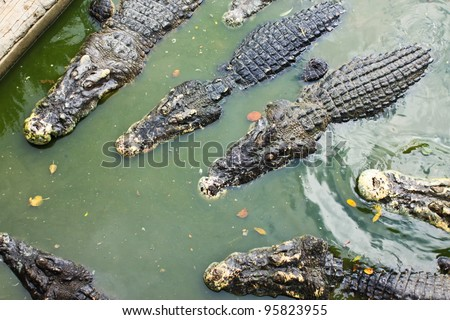 crocodile swimming in a local pond.