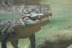 Crocodile swimming under water and waiting for prey