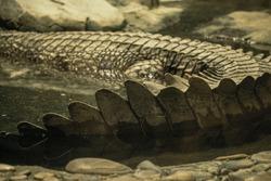 Crocodile tail in water in zoo