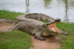 Crocodile that has open mouth on land with green grass beside the lake.
