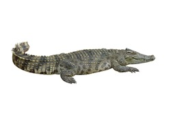 Crocodile with isolate white background, clipping path