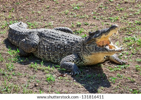 crocodile with open jaws on the ground