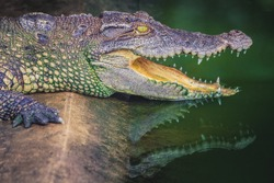 Crocodile with open jaws. Profile of a crocodile in a pond with green water. Open mouth and sharp teeth. Intense yellow eyes.