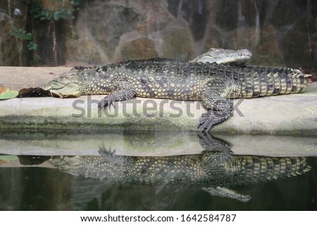 crocodile zoo. Crocodiles bask in the sun. Crocodiles in the pond. Crocodile farm. Cultivation of crocodiles. Crocodile sharp teeth.