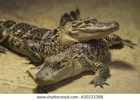 Crocodiles are large aquatic reptiles that live throughout the tropics in Africa, Asia, the Americas and Australia.