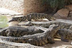 Crocodiles at a crocodile farm are awaiting feeding. Feeding the crocodiles. Crocodile breeding. Crocodile farm.