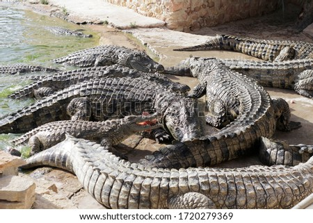 Crocodiles at a crocodile farm are awaiting feeding. Feeding the crocodiles. Crocodile breeding. Crocodile farm.