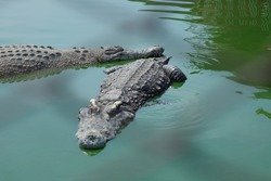 Crocodiles at Crocodile Farm in Thailand.