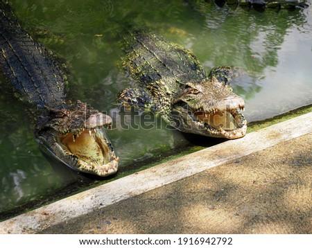 Crocodiles bask in the sun. Alligator in the pond. Crocodile farm. Cultivation carnivore of crocodiles. Crocodile sharp teeth.