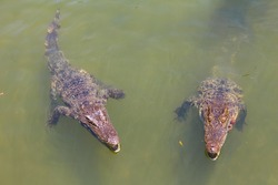 Crocodiles bask in the sun. Crocodiles in the pond. Crocodile farm. Cultivation of crocodiles. Crocodile sharp teeth.