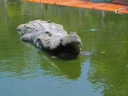Crocodiles bask in the sun. Crocodiles in the pond. Crocodile farm. Cultivation of crocodiles. Alligator sharp teeth.