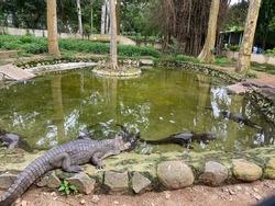 Crocodiles bask in the sun. Crocodiles in the pond. Crocodile farm. Cultivation of crocodiles. Crocodile sharp teeth. Crocodiles Resting at Crocodile Farm in India.