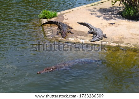 Crocodiles bask in the sun. Crocodiles in the pond. Crocodile farm. Cultivation of crocodiles. Crocodile sharp teeth.