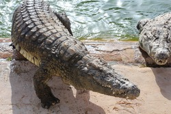 Crocodiles bask in the sun. Crocodiles in the pond. One crocodile comes out of the pond. Crocodile farm. Cultivation of crocodiles. Crocodile sharp teeth.
