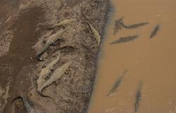 Crocodiles Bathing at Tarcoles River (Costa Rica)