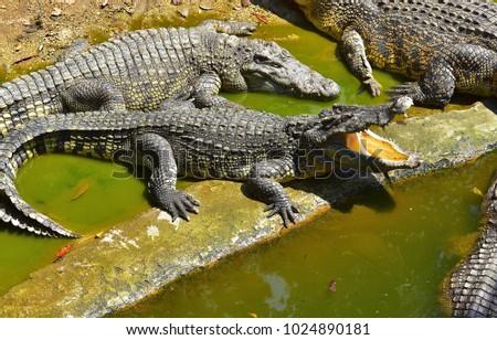 Crocodiles. Crocodile farm in the Pattaya Thailand 14 February 2018