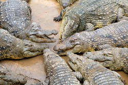 Crocodiles Fighting over Food on a Crocodile Farm