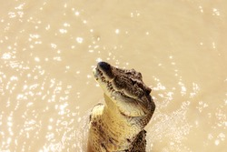 Crocodiles have learnt to jump for meat