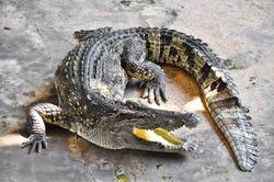 Crocodiles in a farm, Thailand