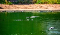 Crocodiles in nature swim in the lake. Many predators lie on the banks of the river, basking in the sun. Crocodile farm.