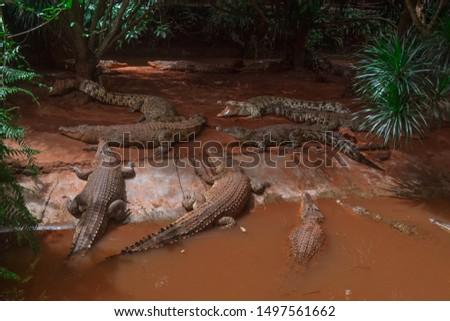 Crocodiles in wildlife Sanya Hainan China