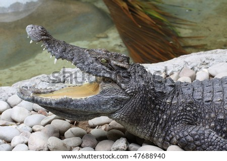 Crocodiles live throughout the tropics in Africa, Asia, the Americas and Australia. Crocodiles tend to congregate in freshwater habitats like rivers, lakes, wetlands and sometimes in brackish water.