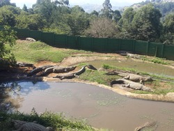Crocodiles lying next to the water