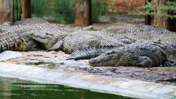 Crocodiles Resting on a Crocodile Farm