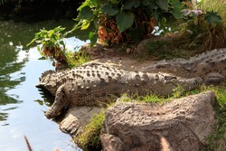 crocodiles resting on a river