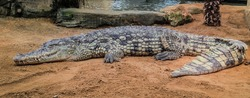 crocodiles with bulging eyes resting in the sunlight