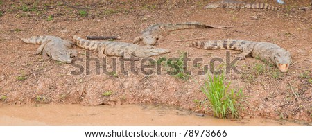 Crocodylus siamensis : Freshwater or Siamese Crocodile in nature