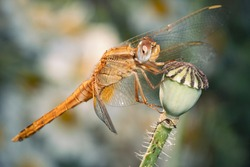 Crocothemis erythraea, common names include broad scarlet, common scarlet-darter, scarlet darter and scarlet dragonfly. Dragonfly on a poppy seed capsule.