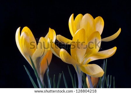 Crocus - also a sign of the spring in the nordic countries. A member of the Iris family. Crocuses are native from sea level to alpine tundra.